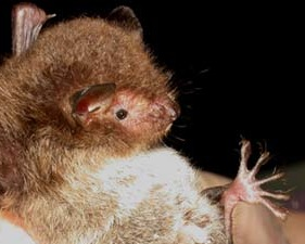 The Daubenton's bat has five toes and a lovely face